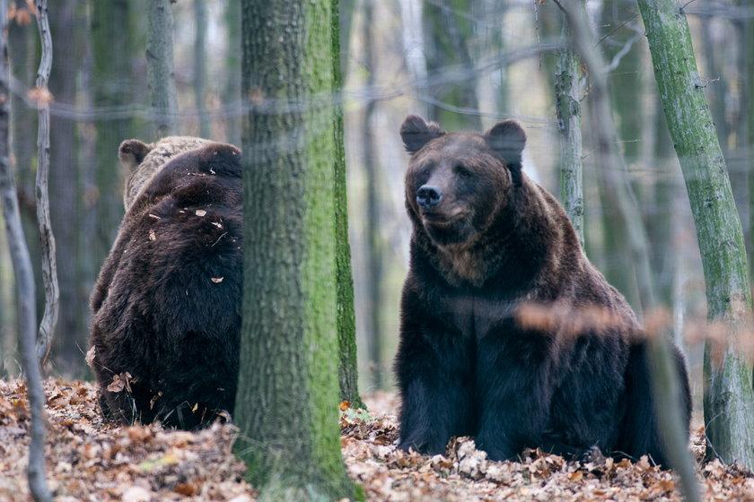 Niedźwiedzie Wania i Misza