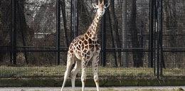 Żyrafek Gortat nie żyje