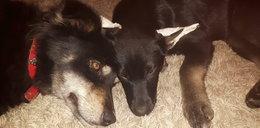 Zabił dwa psy! Policja poszukuje sprawcy makabrycznej zbrodni