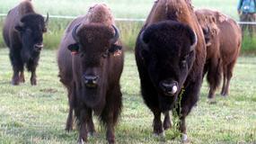 Bizonlandia w Kurozwękach - jedyne w Polsce stado bizonów