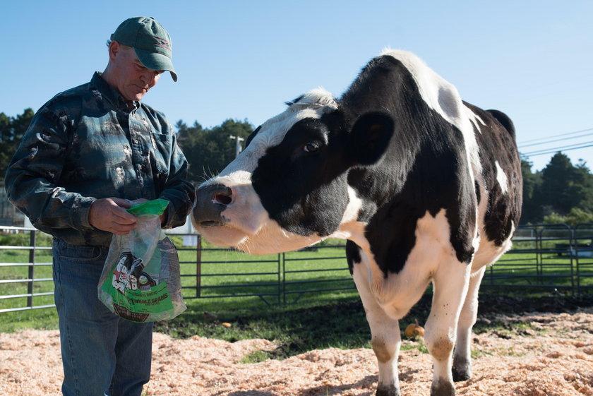 Danniel to prawdopodobnie największa krowa na świecie