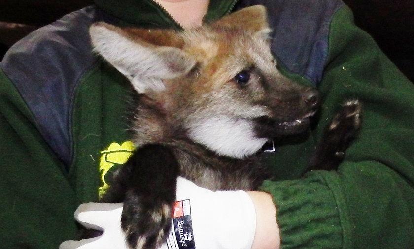 Młode wilki grzywiaste w chorzowskim zoo
