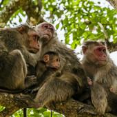 Majmuni kamenovali čoveka NA SMRT: Zagorčavaju seljanima živote i niko im NIŠTA NE MOŽE