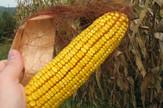 Loznica01 manji rod kukuruza uskoro berba foto s.pajic