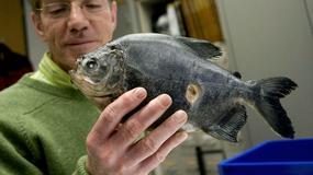 Czy ludzie powinni się bać piranii? Co jedzą te drapieżne ryby?
