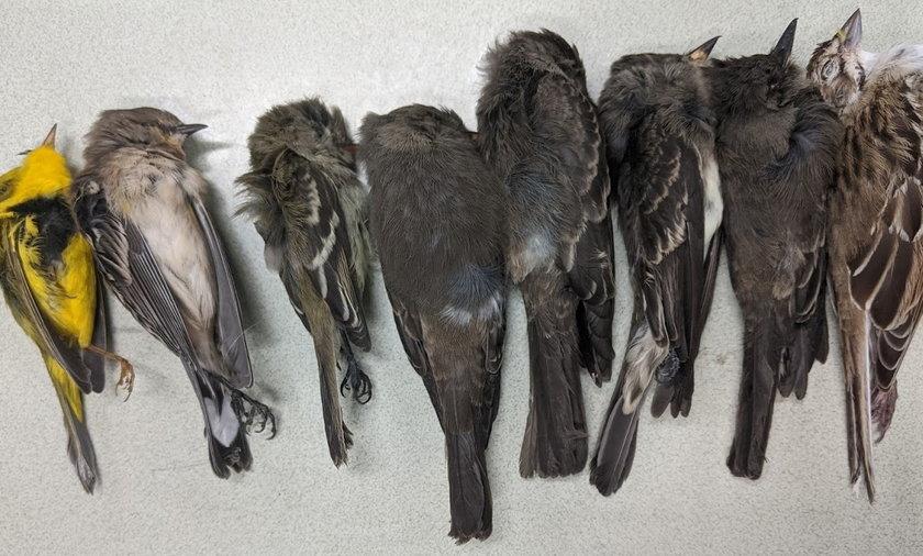 Masowa zagłada ptaków