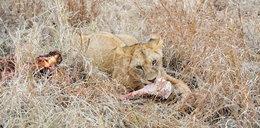 Kłusownicy polowali na nosorożce. Zostali zjedzeni przez lwy