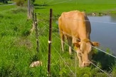 Krava tele spasavanje električna ograda prtscn Youtube Rumble Viral
