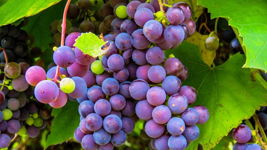 Z winogron można przygotować wino lub dżem - blende12/pixabay.com