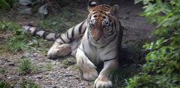 Lwy i tygrysy w ZOO w Łodzi mają nowy wybieg