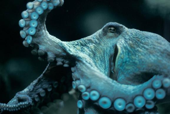 Misteriozne hobotnice