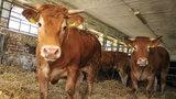 Sportowe rekordy krów na gigancie