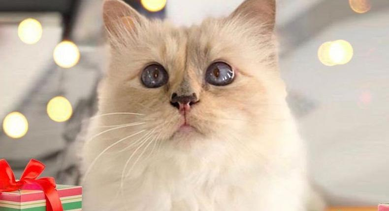Fashion designer Karl Lagerfeld 's Cat