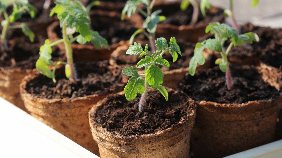Rozsadę pomidorów można przygotować samodzielnie - vaivirga/stock.adobe.com
