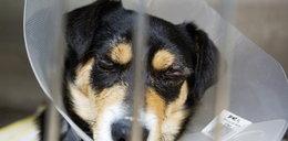 Okaleczenie psa to robota weterynarza. Uratował mu życie