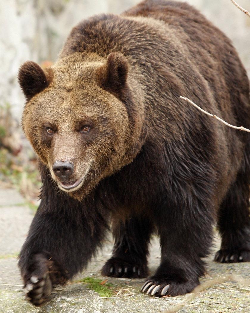 Niedźwiedź zabił rencistę