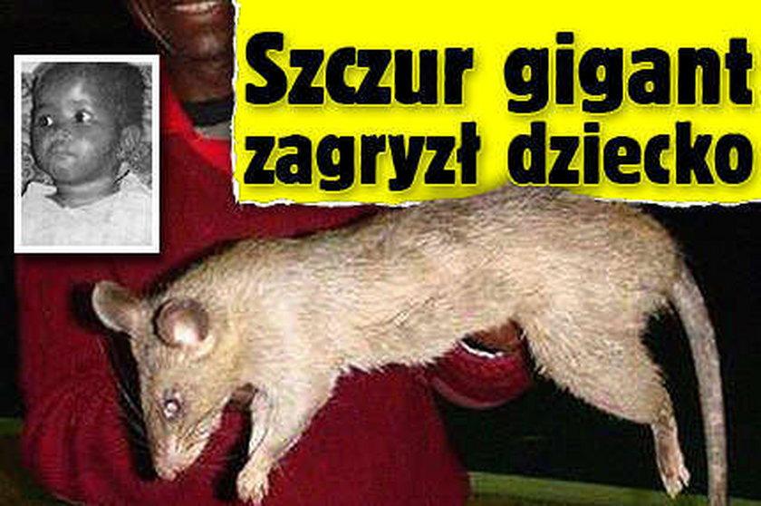 Szczur gigant zagryzł dziecko!