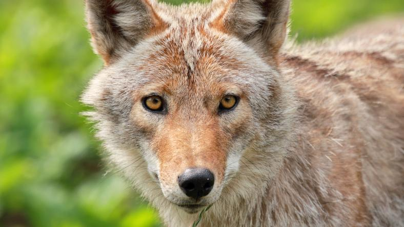 Kanada: kojot przejechał 30 km w zderzaku