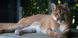 Puma zaatakowała 5-latka przed domem