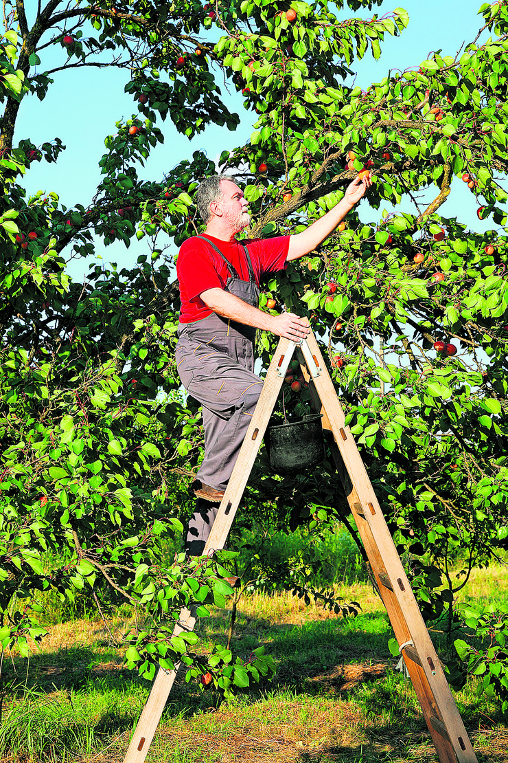 stock-photo-mid-adult-farmer-at-ladder-picking-apricot-fruit-from-tree-in-orchard-445979188