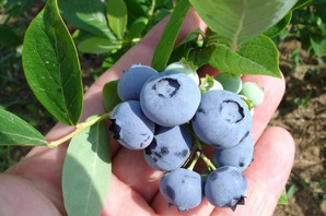JABUKA, KAJSIJA, BOROVNICA U koje voće je najbolje ulagati?