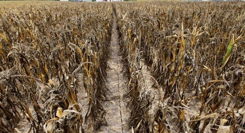 ___6215382___https:______static.pulse.com.gh___webservice___escenic___binary___6215382___2017___2___13___15___Dried+up+crops.The+farmers+have+lost+billions+to+drought._1