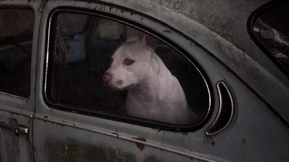 Pies zamknięty w aucie