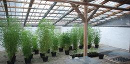 Zlikwidowano plantację marihuany. Rośliny mogły być warte 0,5 mln złotych!