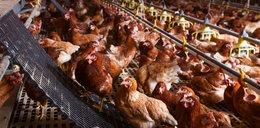 Kolejne zagrożenie epidemiczne! Wykryli ogniska ptasiej grypy