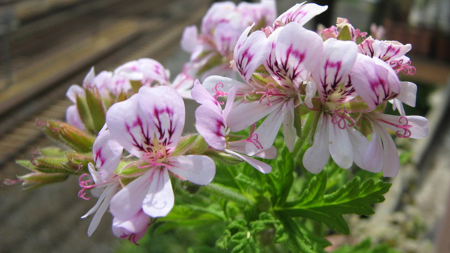 Pelargonia pachnąca (geranium, anginka)