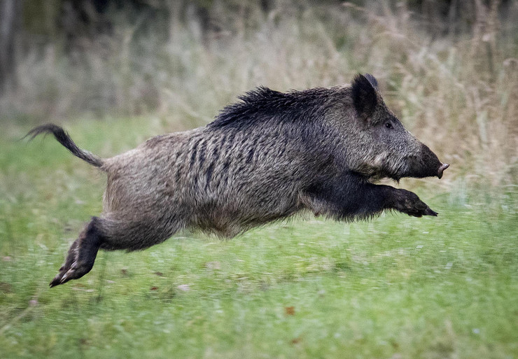divlja svinja foto Tanjug AP