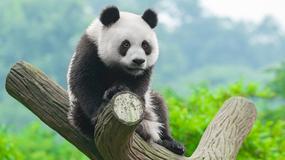 Panda, która ciągle chce przytulać swojego opiekuna