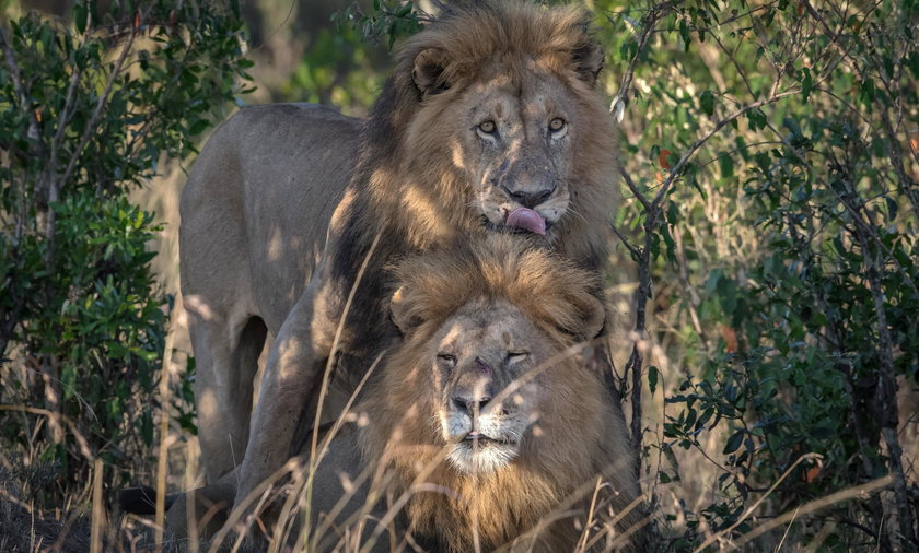 W RPA lwy pożarły kłusownika