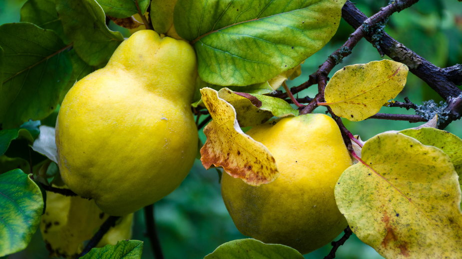 Owoce pigwy -  James/stock.adobe.com