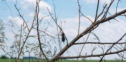 Martwe zwierzęta na gałęziach drzew. Przerażające zjawisko w Olesnie