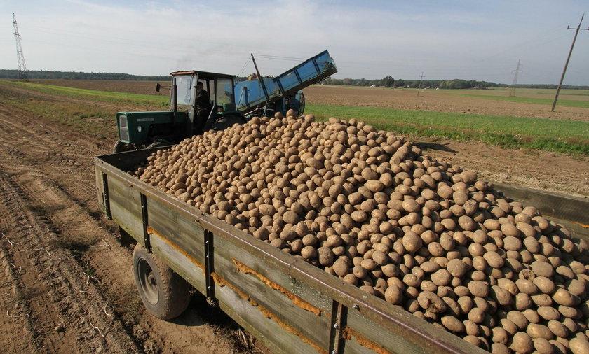 Rosjanie nie chcą polskich ziemniaków. Znana sieć rezygnuje z importu