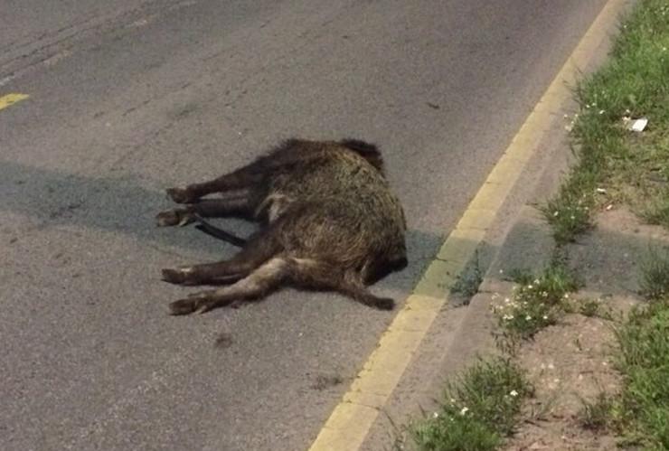 divlja svinja smrt