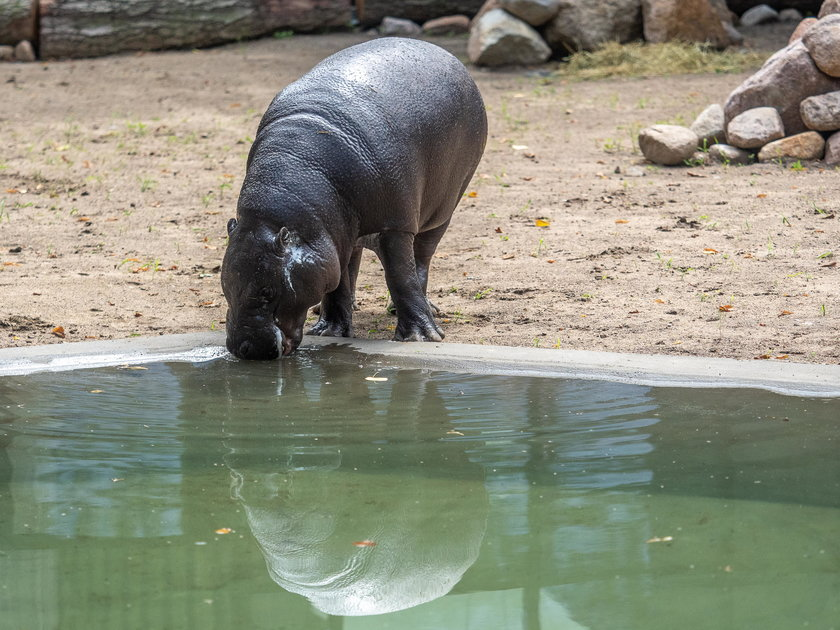 Hipopotam karłowaty w łódzkim zoo