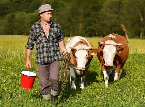 rolnik krowy