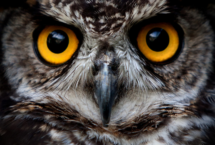 O stock-photo-owls-are-the-order-strigiformes-constituting-extant-bird-of-prey-species-most-are-solitary-and-65345731