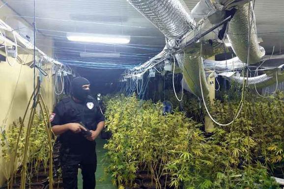 HIT Nišlije uzgajale 17 kilograma marihuane u saksiji, POLICIJA IM UPALA DOK SU JE ZALIVALI