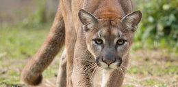 Puma zaatakowała chłopca. Co zrobiła jego matka?