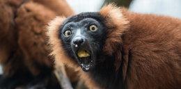 Lemur z łódzkiego zoo odbuduje ginący gatunek!