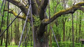 Jedno z najsłynniejszych polskich drzew można oglądać na żywo w internecie