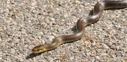 Złapali węża w Warszawie. Gad zaatakował strażnika
