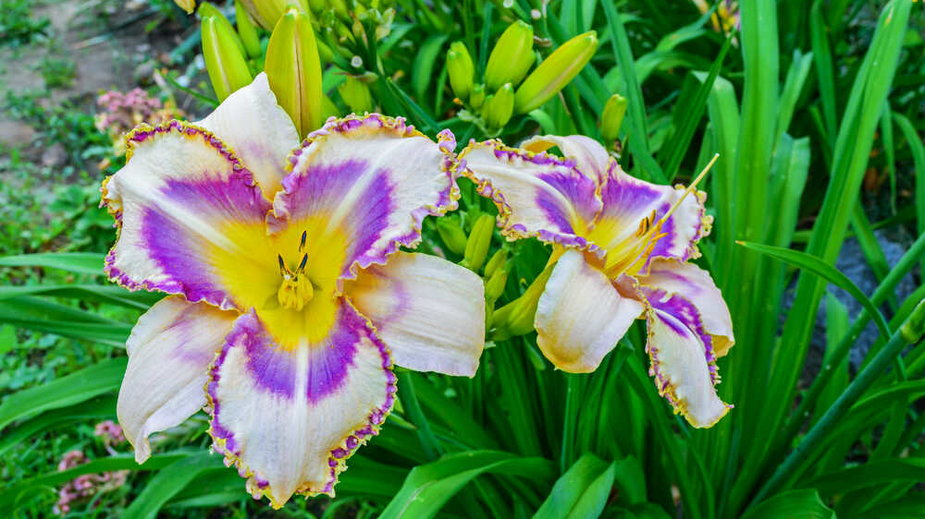 Liliowce pochodzą z Azji
