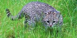 Koty argentyńskie w śląskim Zoo