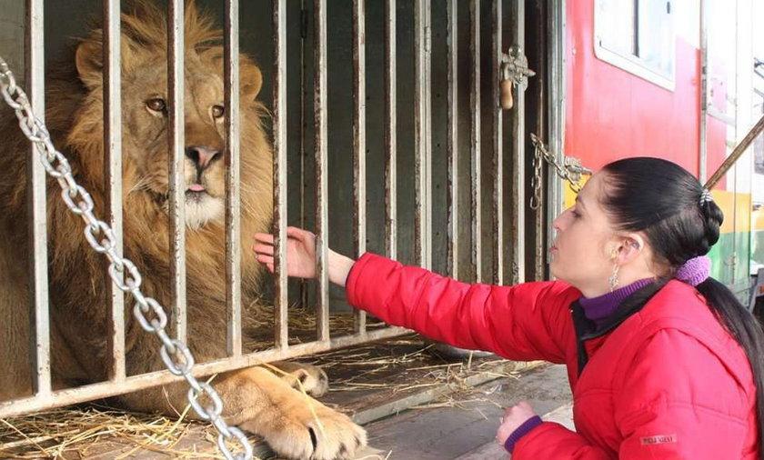 Szok! W Kielcach lew przyszedł do weterynarza!