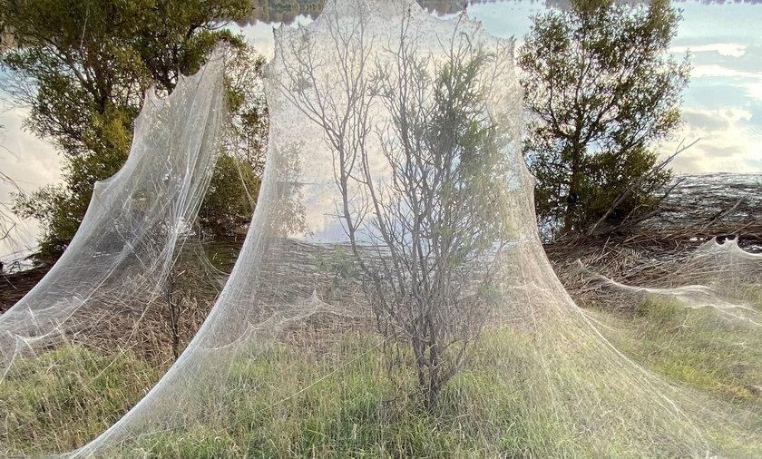 To, co dzieje się teraz w Australii, to dla arachnofobów koszmar na jawie!