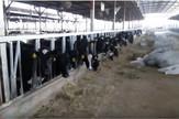 katar stočna farma